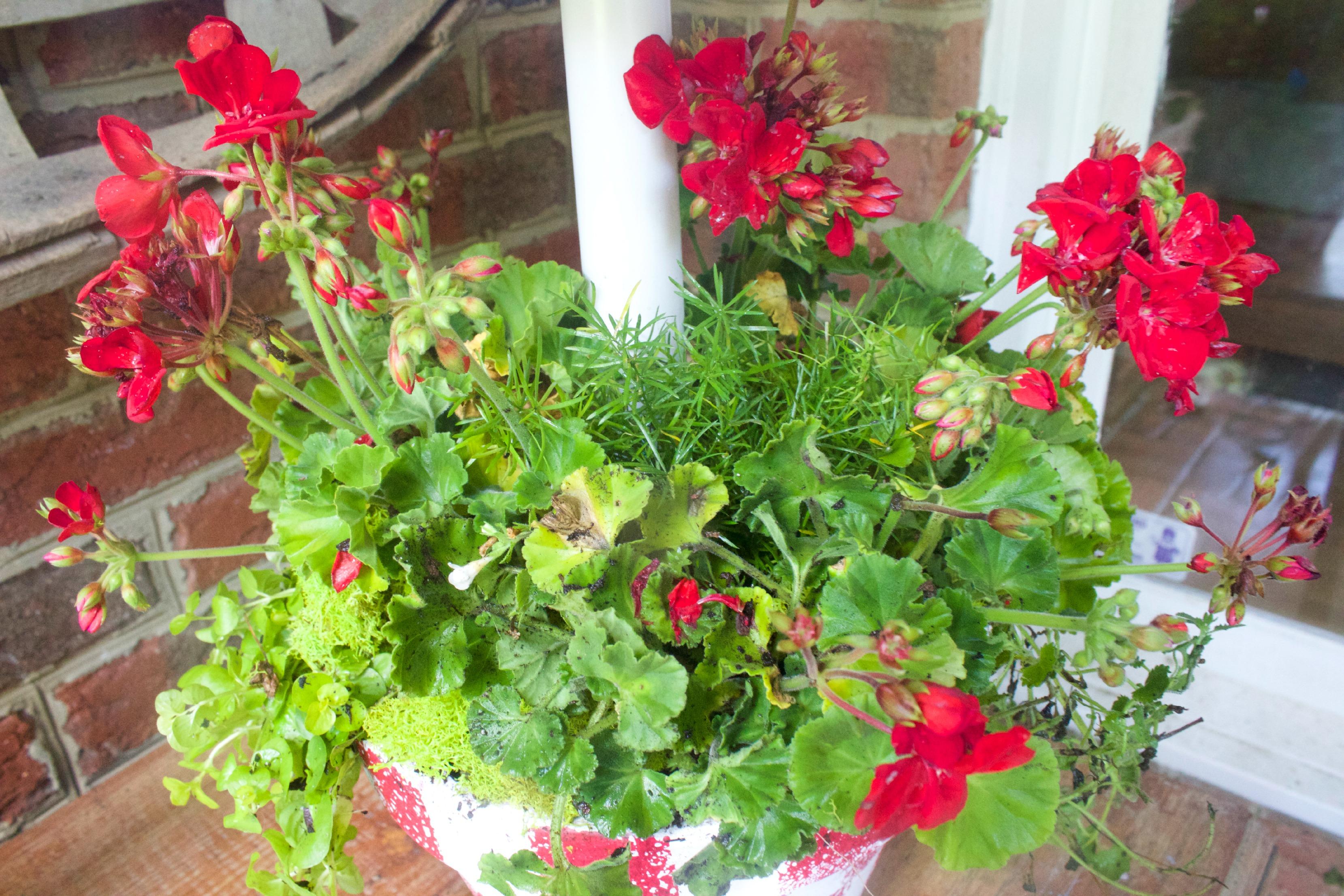 Red Geraniums by The Everyday Home  www.everydayhomeblog.com