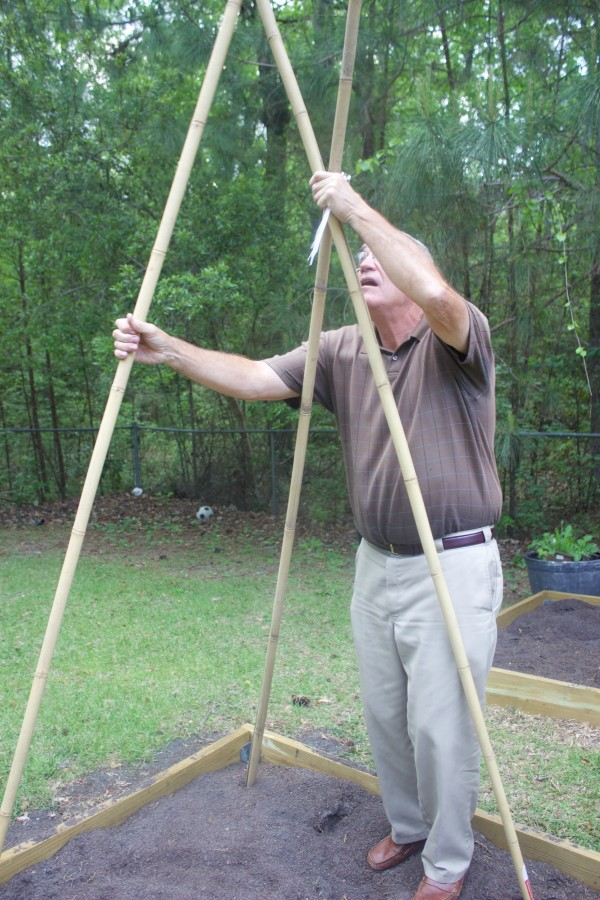How to build a bean teepee frame the everyday home for Uses for bamboo canes