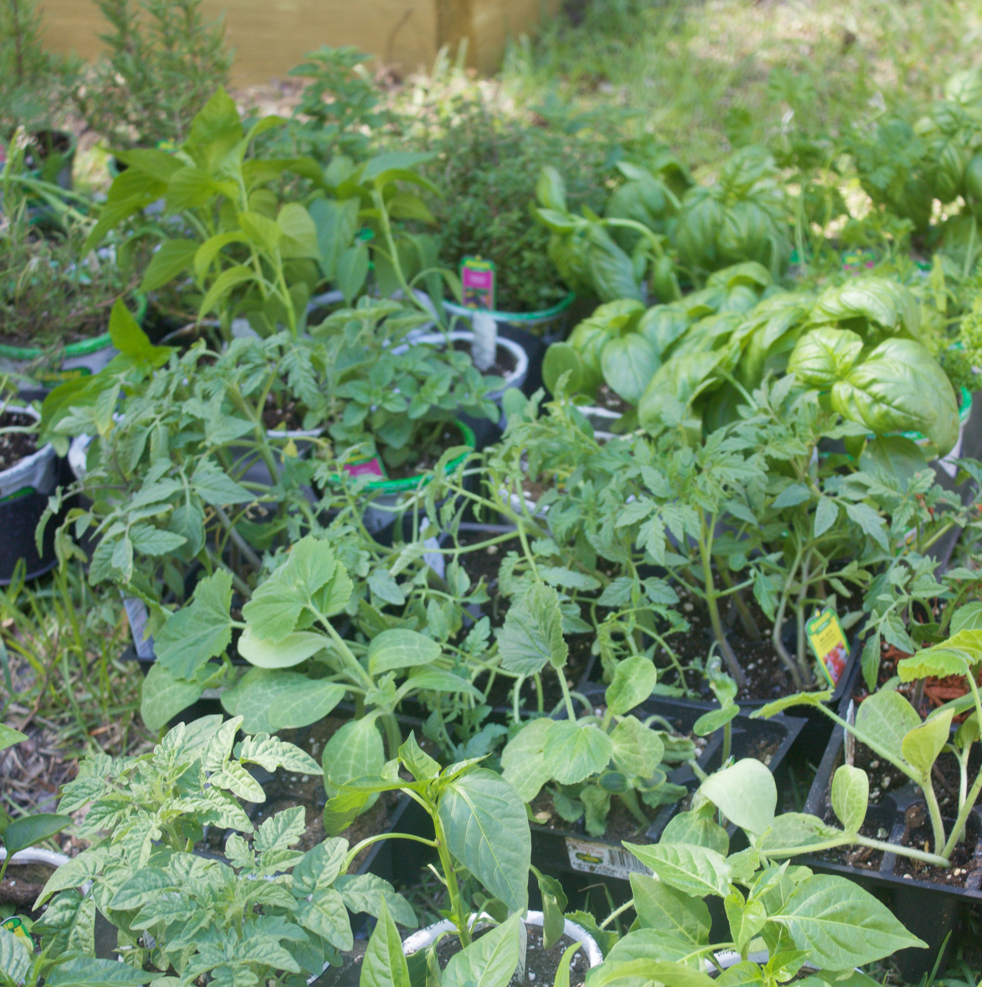 Garden Plants and Herbs   The Everyday Home