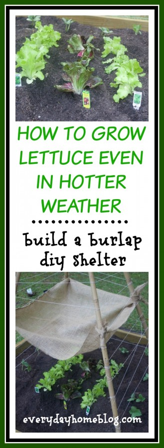 Grow Lettuce in Hotter Weather | The Everyday Home
